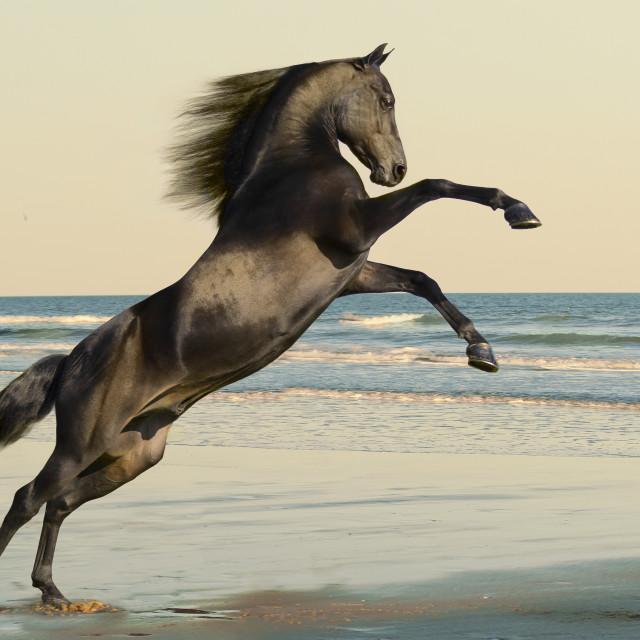 """8403A8 Morgan horse stallion"" stock image"