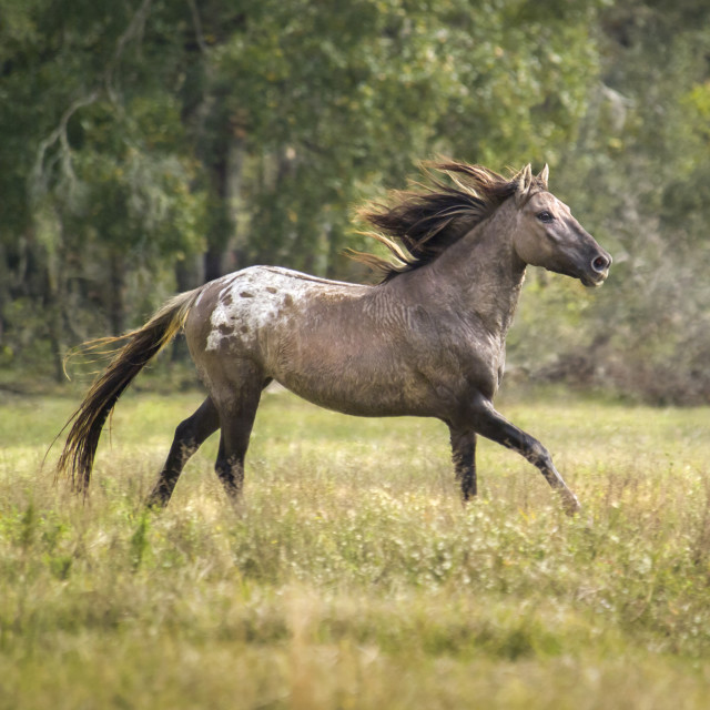 """8409A Appaloosa Spanish Mustang stallion"" stock image"