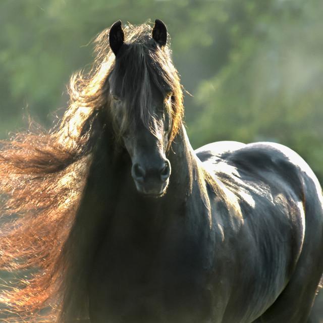 """8429S2 Friesian horse stallion"" stock image"