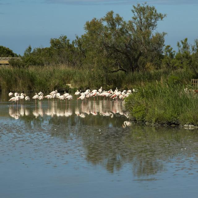 """Greater Flamingos at Pont de Gau ornithological park"" stock image"