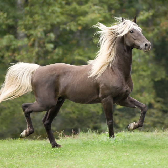 """8451X Rocky Mountain Horse stallion"" stock image"