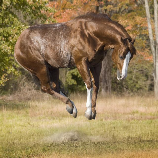 """8474AC1 American Quarter Horse stallion"" stock image"