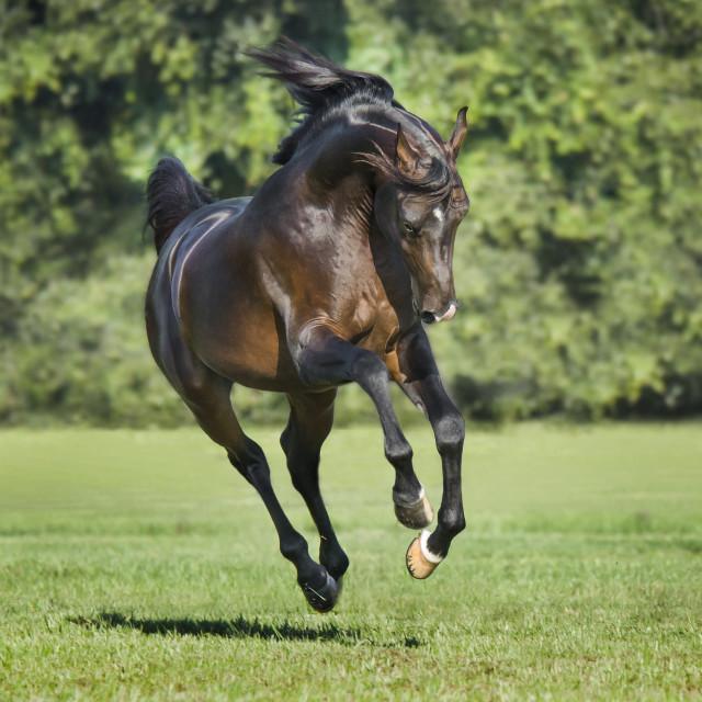 """8500S Arabian Horse stallion"" stock image"