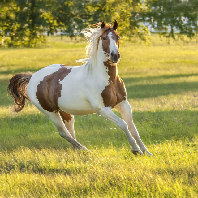 """8476-3 Paint horse stallion"" stock image"