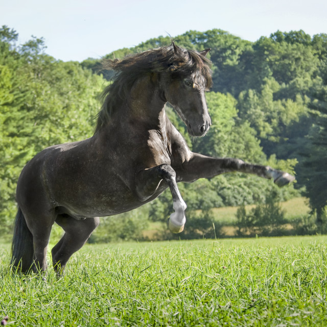 """8547-1C Andalusian horse stallion"" stock image"