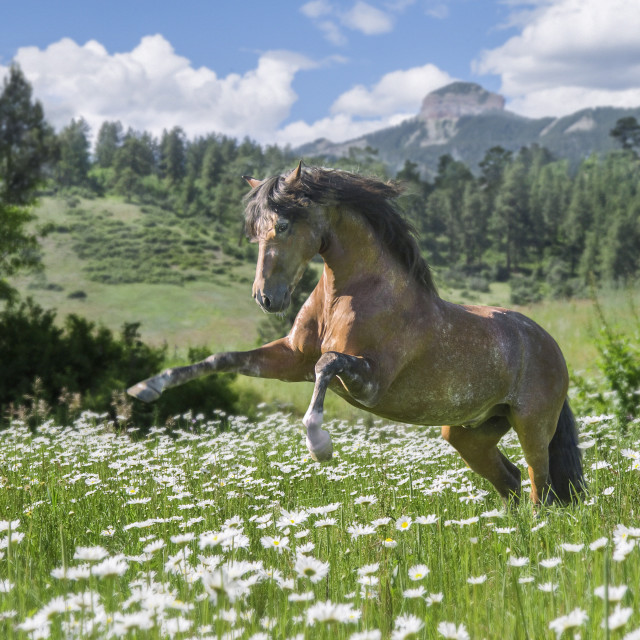 """8547-1B Andalusian horse stallion"" stock image"