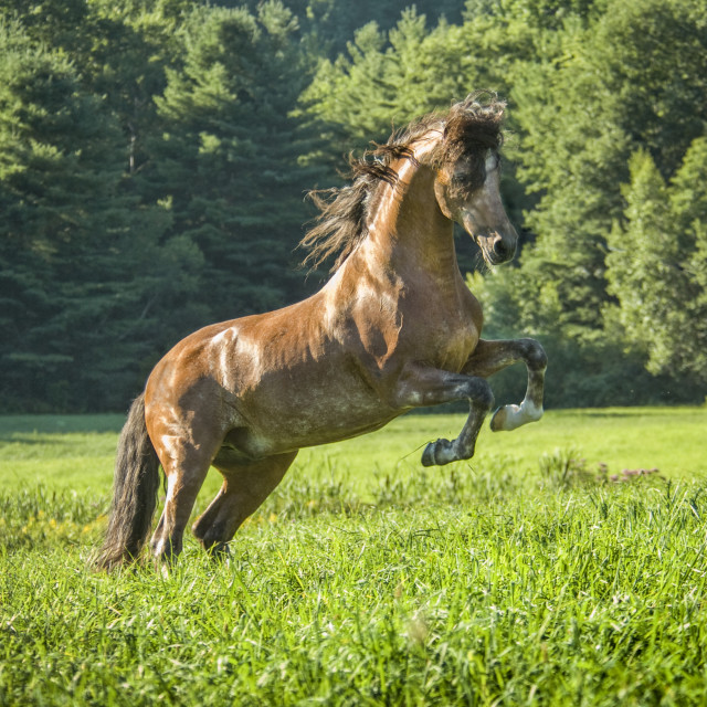 """8547HL Andalusian horse stallion"" stock image"