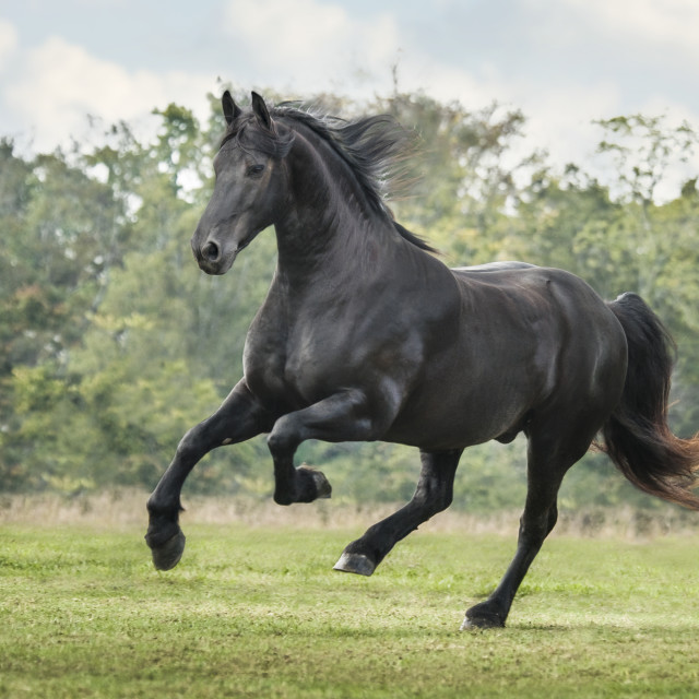 """8563-27 Friesian Horse stallion"" stock image"
