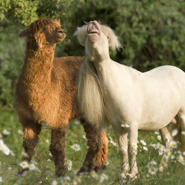 """8559-6A Miniature Horse stallion with llama"" stock image"