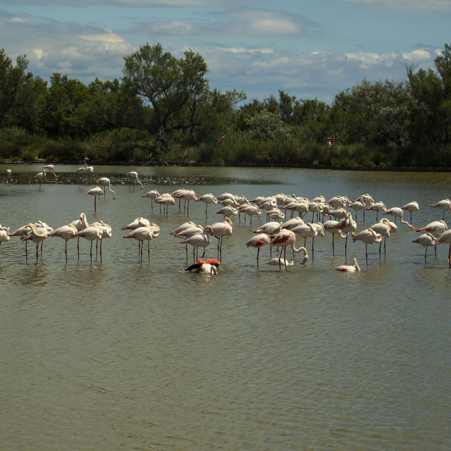 """Greater Flamingos at Pont de Gau ornithological park"" stock image"