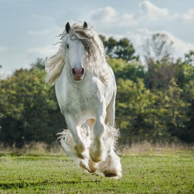 """8564-37 Gypsy Vanner Horse stallion"" stock image"