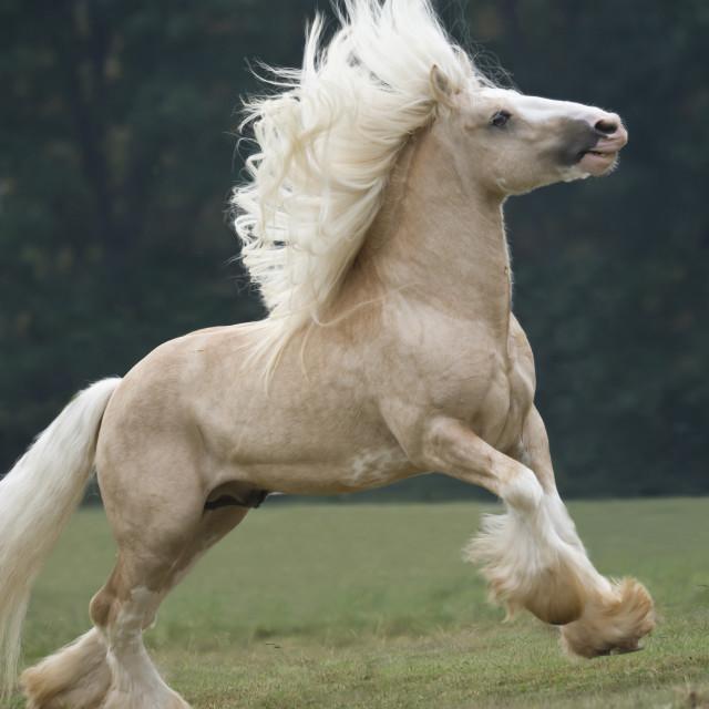 """8565-16 Gypsy Vanner Horse stallion"" stock image"