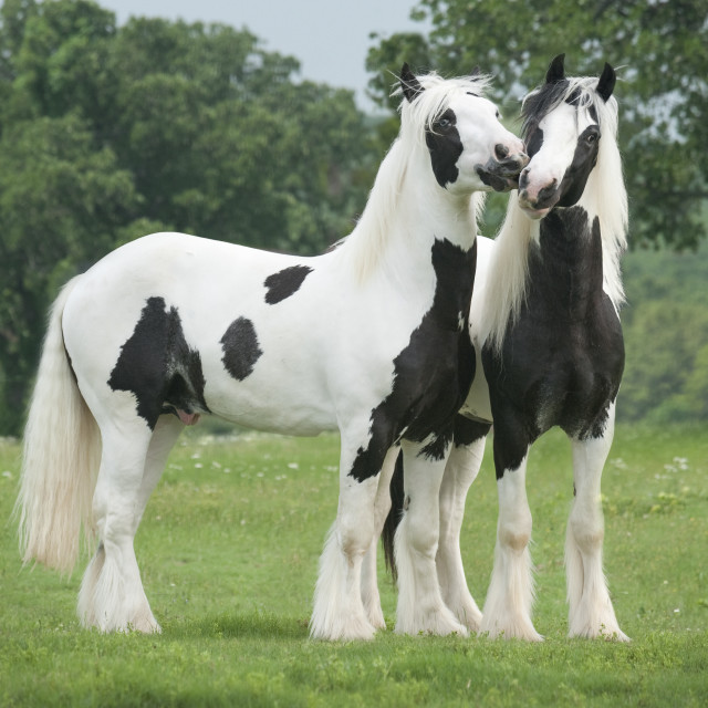 """8578-8 Gypsy Vanner Horse colts"" stock image"