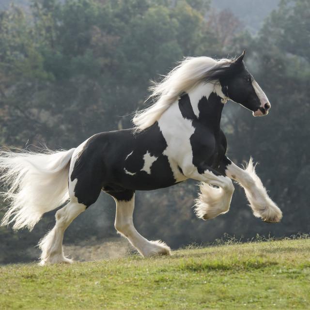 """8568-32 Drum Horse stallion"" stock image"