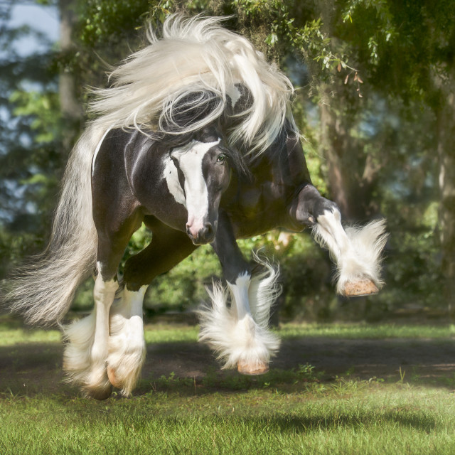 """8606-34A Gypsy Vanner Horse"" stock image"