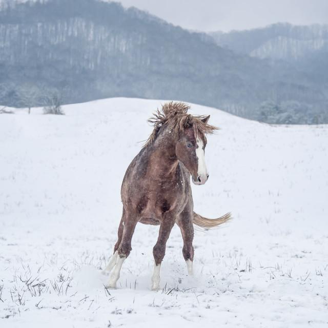 """8609-17B Warmblood stallion in snow"" stock image"
