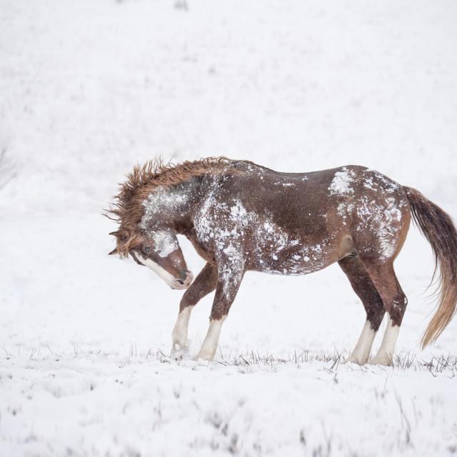 """8609-13 Warmblood stallion"" stock image"
