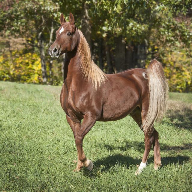 """""""8608-3 Saddlebred Horse"""" stock image"""
