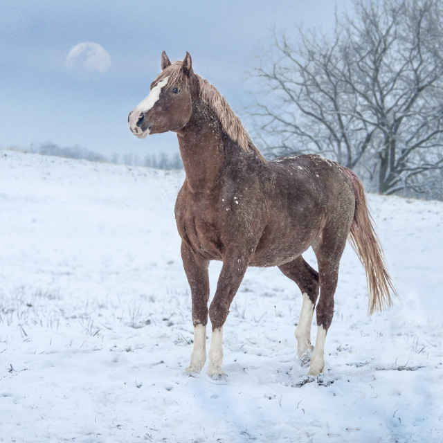 """8609-18A1 Warmblood stallion in snow"" stock image"