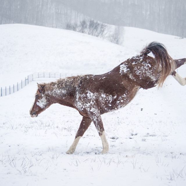 """8609-43A Warmblood stallion in snow"" stock image"