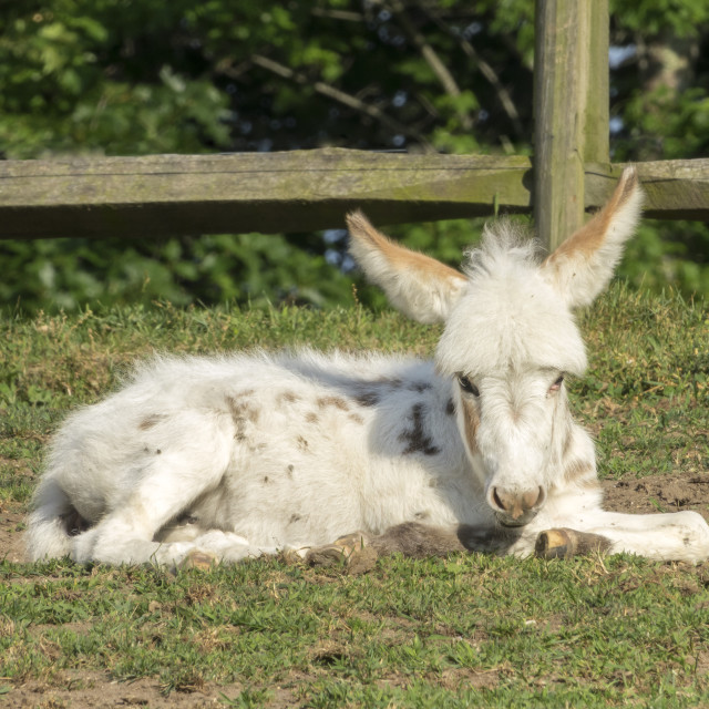 """9428-37 Spotted Miniature Donkey foal"" stock image"