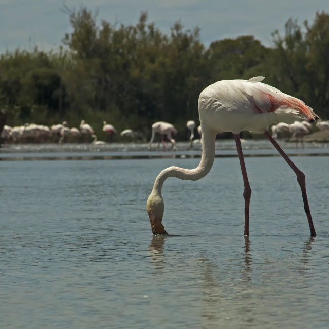 """Greater Flamingo"" stock image"