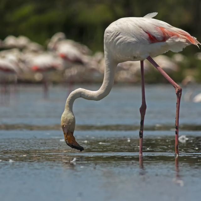 """Greater Flamingo"" stock image"