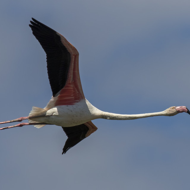 """Greater Flamingo in Flight"" stock image"