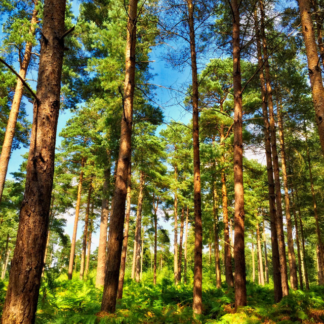 """Summer in the pine forest"" stock image"