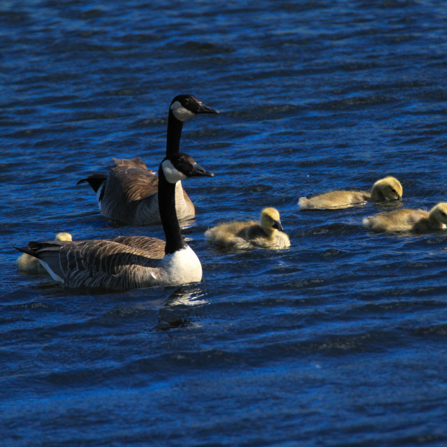 """""""Mom, Dad and the Goslings"""" stock image"""