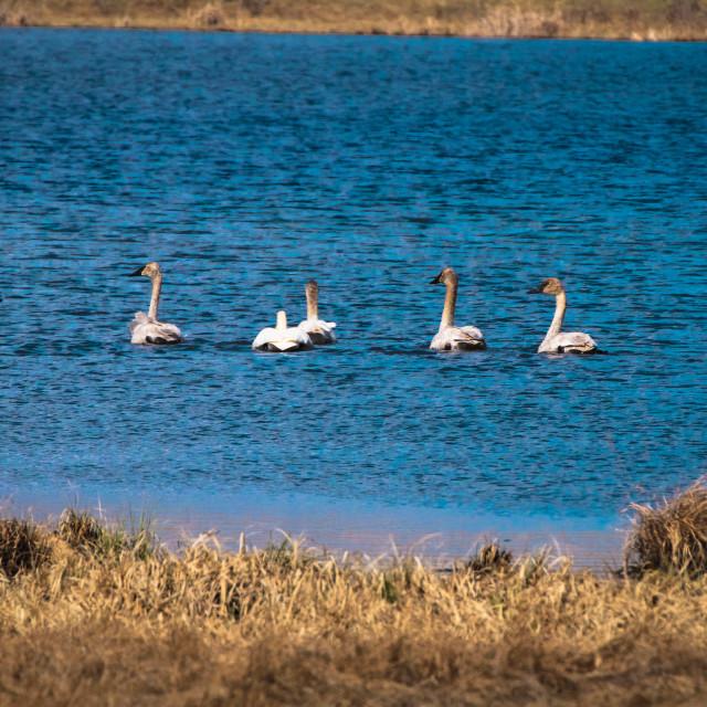 """""""Tundra Swans Photobombed"""" stock image"""