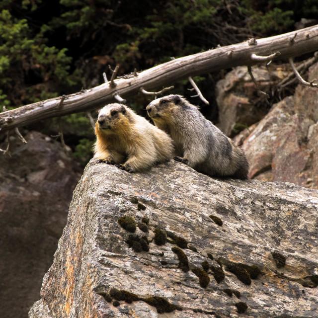 """Marmots on the Rocks"" stock image"