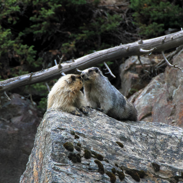 """""""Marmots Kissing on the Rock"""" stock image"""