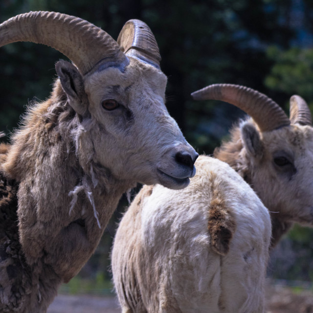 """""""Elder Female and Yearling Rocky Mountain Sheep"""" stock image"""