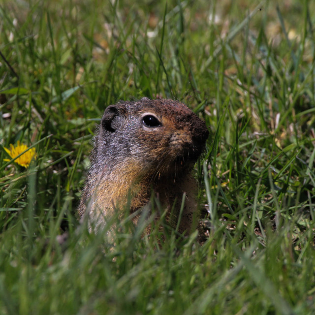 """Columbian Ground Squirrel Proud"" stock image"