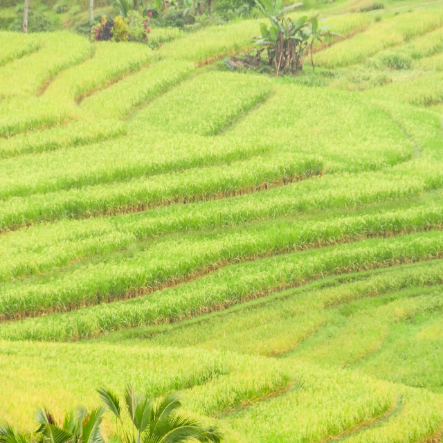 """Rice terraces of Bali Island, Indonesia"" stock image"