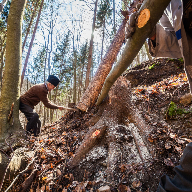 """""""Senior woodcutter trying to take down a sawn tree"""" stock image"""