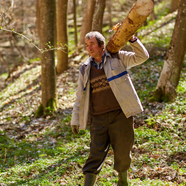 """Senior woodcutter with heavy log on shoulder"" stock image"