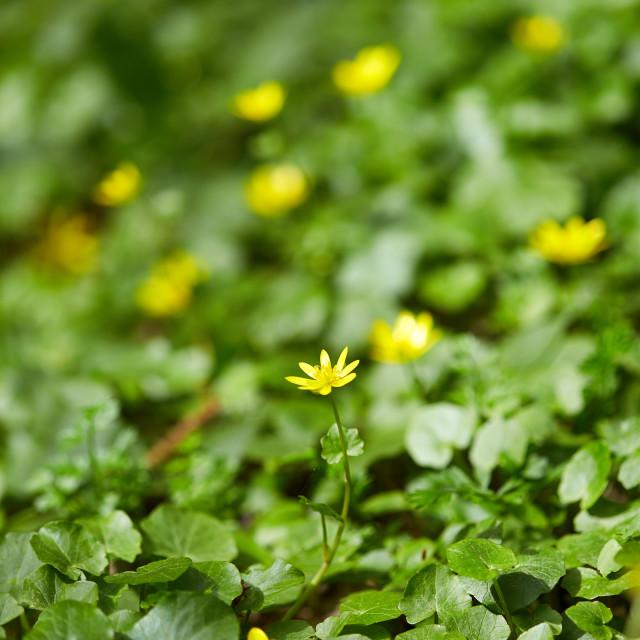 """Small celandine field"" stock image"
