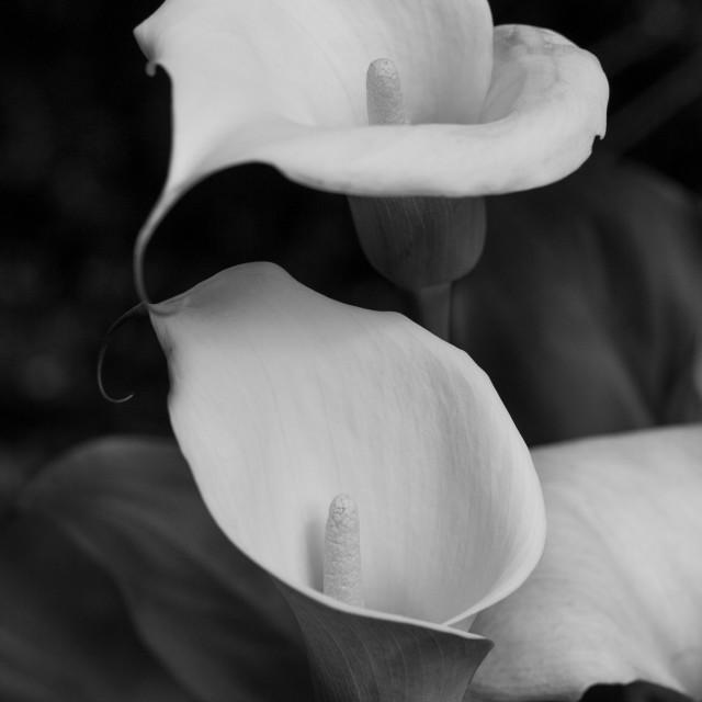 """White Lilys"" stock image"