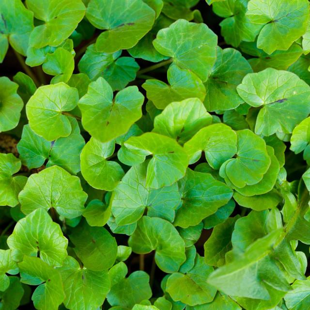 """Lesser celandine (Ficaria Verna)"" stock image"