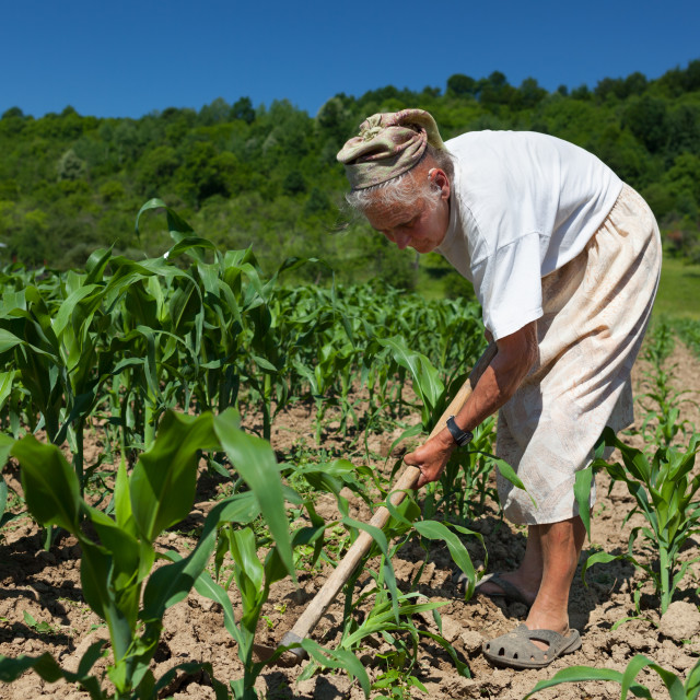 """Senior rural woman in the corn field"" stock image"