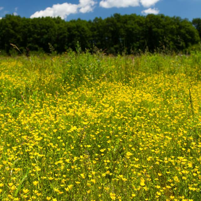 """Small celandine field (Ficaria Ranunculoides)"" stock image"