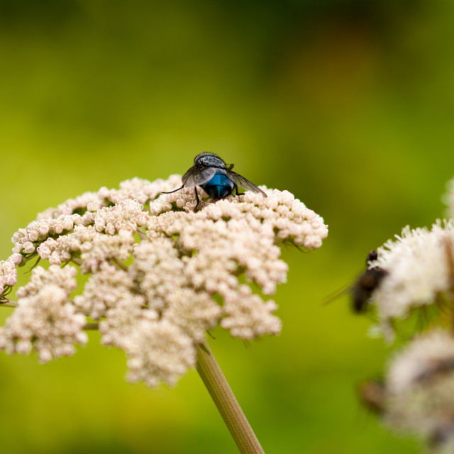 """""""Blue fly"""" stock image"""