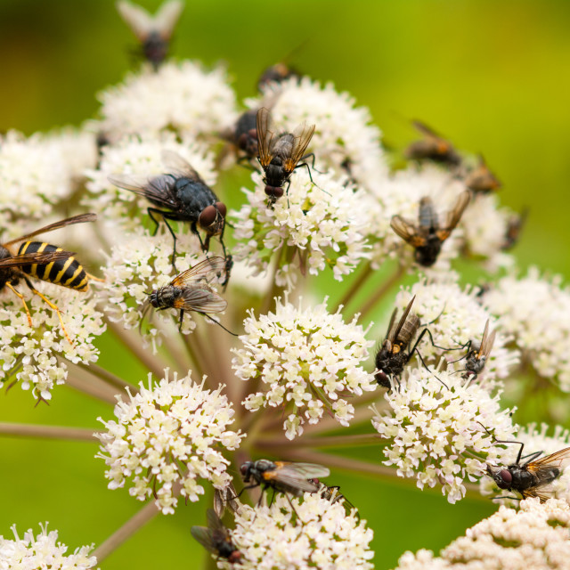 """""""Wasp and flies on flower"""" stock image"""