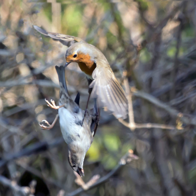 """""""Robin attacking a Sparrow."""" stock image"""