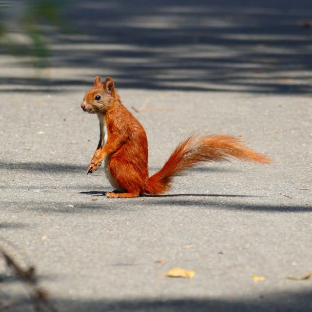 """Red squirrel sitting"" stock image"