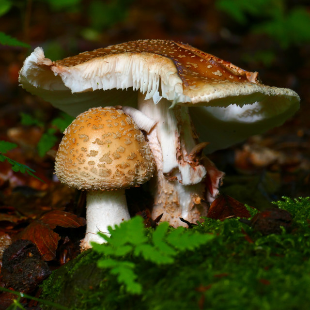 """Toadstool"" stock image"