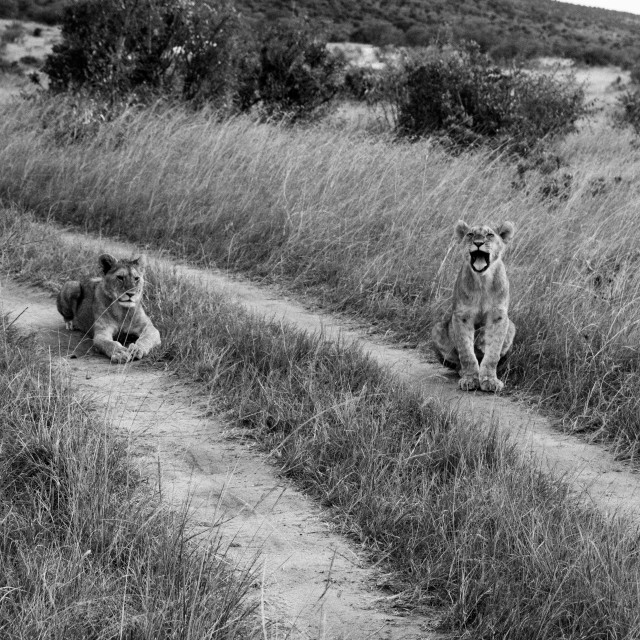 """Lion Cubs in the Mara"" stock image"