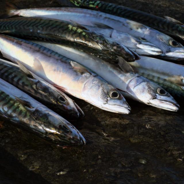 """mackerel"" stock image"